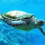 Tartaruga marina - Caretta caretta
